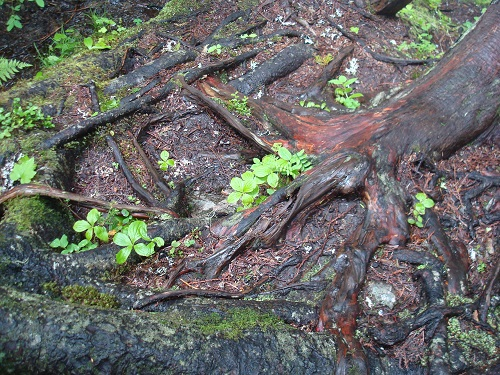 Roots along Zigzag Creek